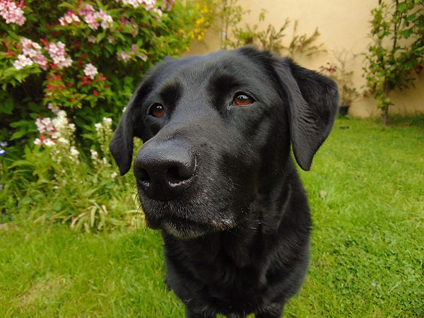 close facial image of black lab dog looking