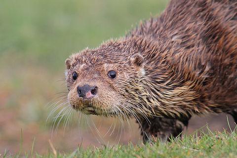 Otter Shetland Day Tours Wildlife Nature Birds Birding Guide