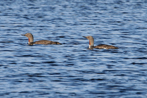 Red-throated Divers
