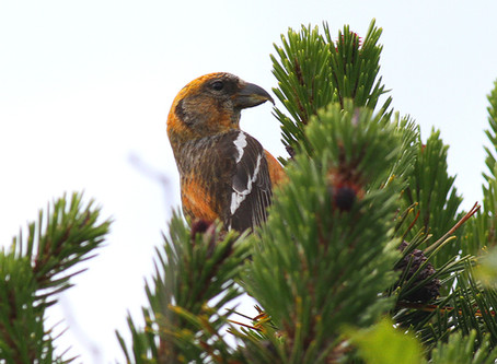 Two-barred Crossbills