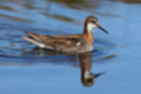 Red-necked Phalarope Shetland Birds Birding Guide Day Tours Wildlife Nature