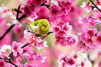 green-bird-sparrow-cherry-flowers-spring