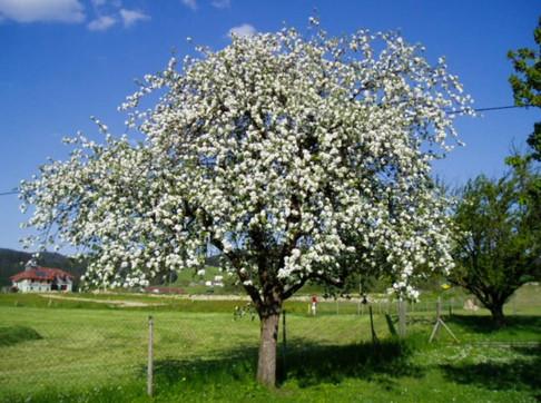 Maschanzker Apfelbaum