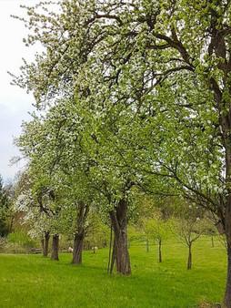 Alte Birnenbaumreihe