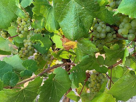 202003_Chardonnay.jpg