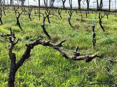 202106 Chardonnay pruning.jpg
