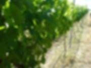 201011_Cane thinned Merlot - Nov 10.jpg