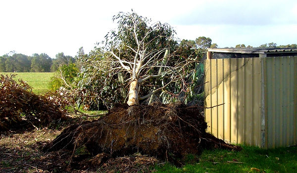 200608_Storm tree across coop.JPG