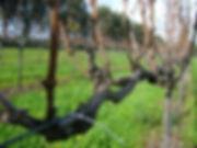 201105_Merlot Vine to be pruned.jpg
