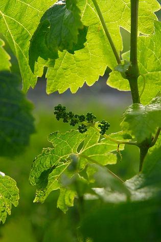 200911_grape bunch pre-flowering2 1109.j