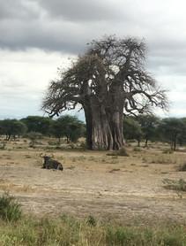 Lone wildebeest - Tarangire National Par
