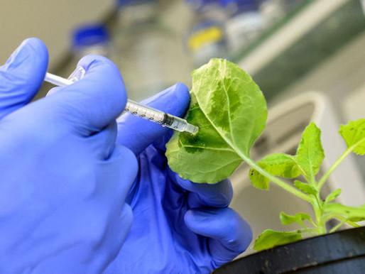 L'alternativa agli OGM è vaccinare le piante?