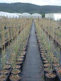Grapevine Budding and Grafting at Novavine