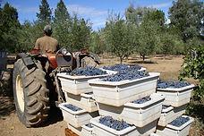 Pietro-wine-harvest