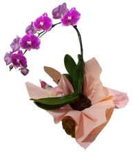 Orquídea uma haste