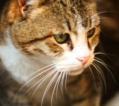 Why Indoor Cats Need Vaccinations