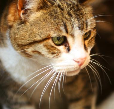 Primer del gato