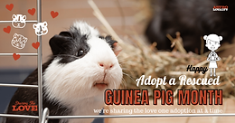 March is Adopt a Rescued Guinea Pig Month!