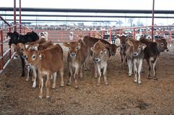 Jersey heifers