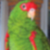 _Papagaio-charão.jpg