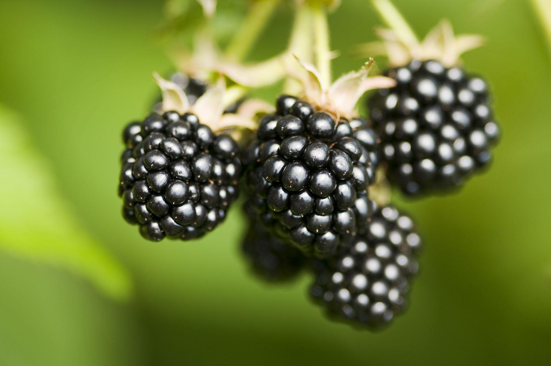 Fresh blackberries bunch on a farm