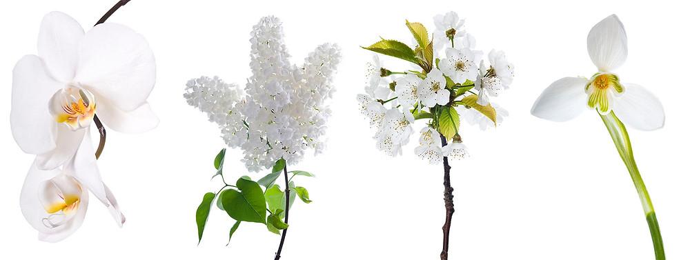 Biele kvety na bielom pozadí