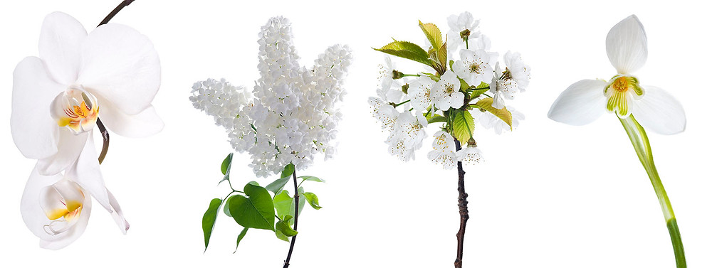 White flowers isolated on white background
