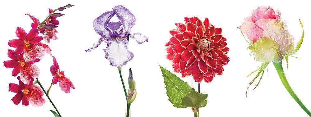 Kvety na bielom pozadí