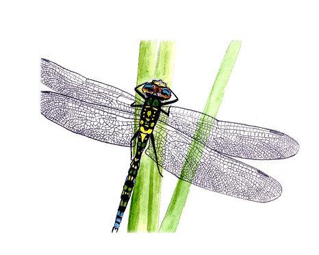 John's Dragonfly