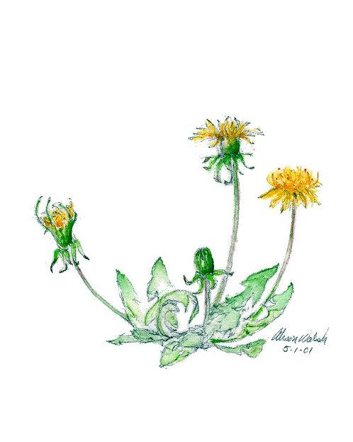 Dandelion - Yellow