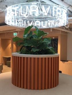 Ficus lyrata in round planter at School
