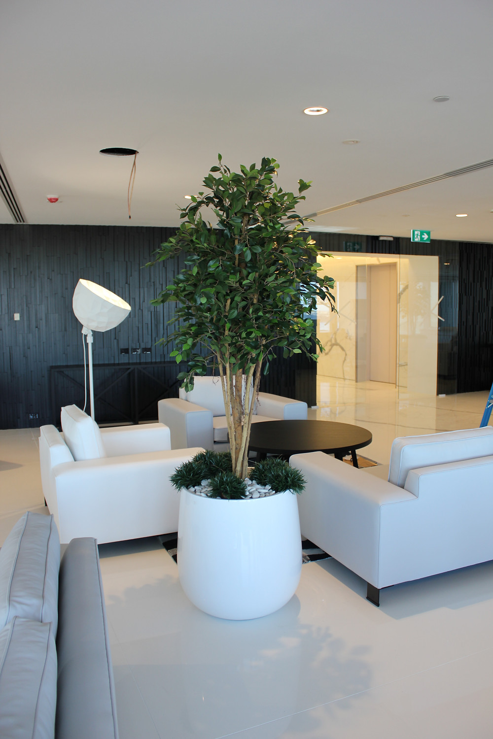 low maintenance ficus tree for corporate office sydney