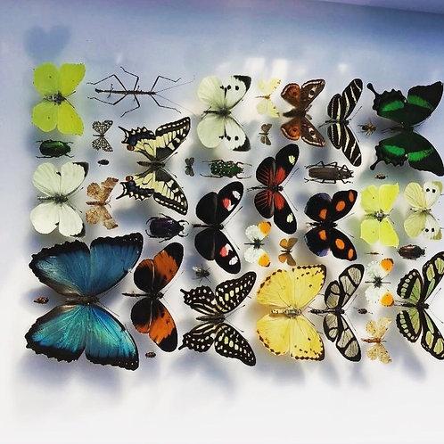 Composition rectangulaire de papillons et insectes, par Emillien BOUTEILLE