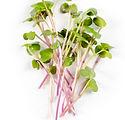Heap%20of%20radish%20micro%20greens%20on