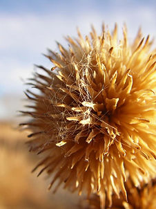 Dried flower observed during vegetation and wetland survey in Reeves County, Texas.