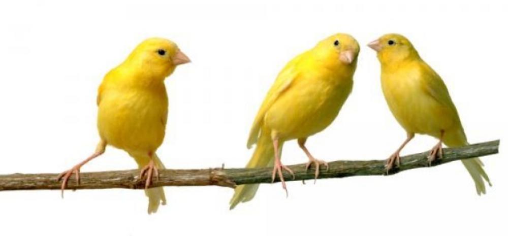 Canary Intuitive Wisdom