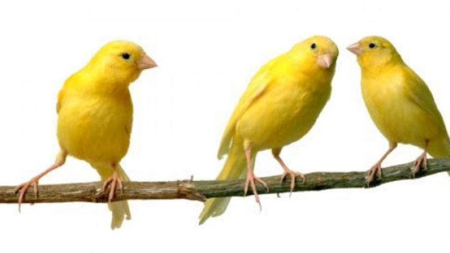 How to Unruffle Your Canary's Trumpled Feathers