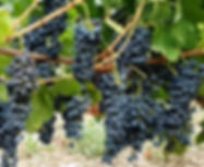 Vigne à greffons Syrah 1188 - Saint Sern