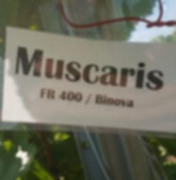Muscaris FR 400 / Binova
