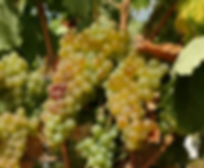 Vermentino.PNG