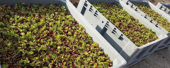 Les plants de vigne en attente d'être plantées dans les pépinières