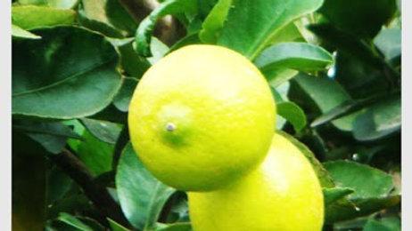 Limón Meyer 5 unidades grandes