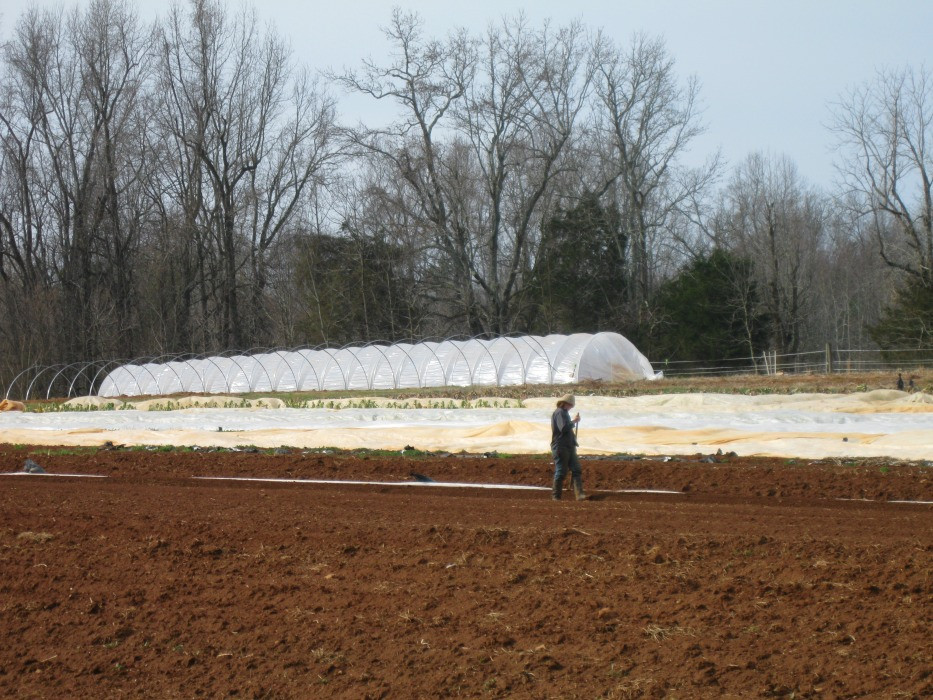 Hoeing carrots, with new tunnels in the background