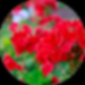 geraniums.png