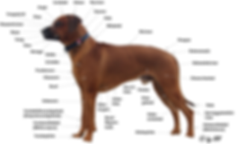 Bezeichnungen Hundeanatomie