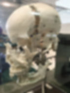 Display of disarticulated skull to see how the bones connect