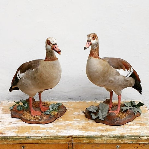 A pair of Taxidermy Egyptian Geese
