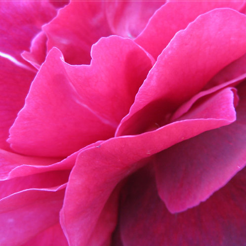 Rose Reiki