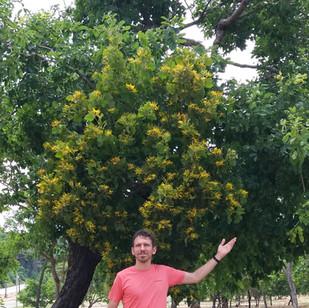 Huge Psittacanthus eucalyptifolius1