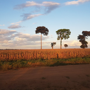 Maize plantations in the Amazon
